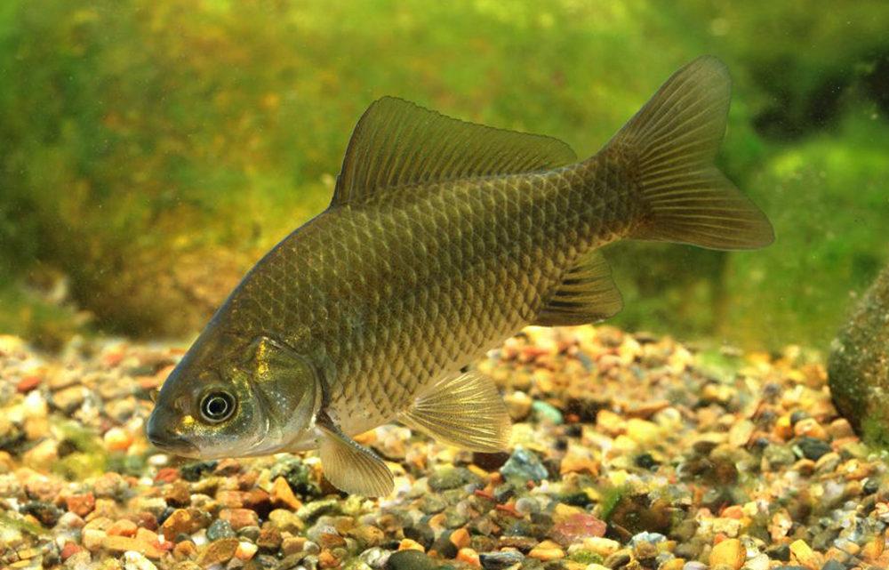 Карась, что это за рыба, места ее обитания и особенности ловли