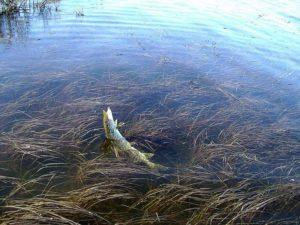 Ловля щуки осенью на мелких водоемах