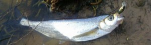 рыба чехонь