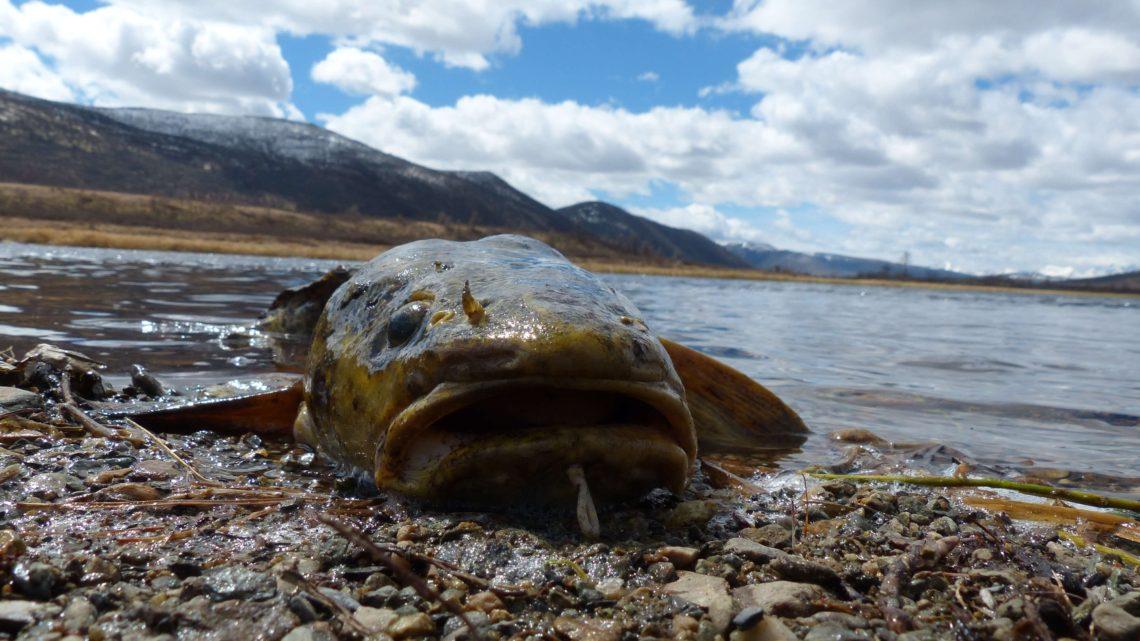 Рыба Налим, особенности ловли и места обитания