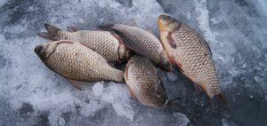 Ловля карася последний лед особенности