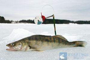 Ловля судака на жерлицы первый лед