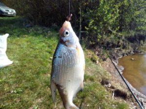 Рыба густера описание