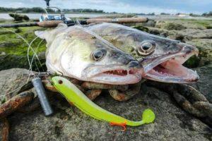 Приманки и наживки для ловли судака